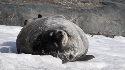 Weddell seal rest on the beach Footage