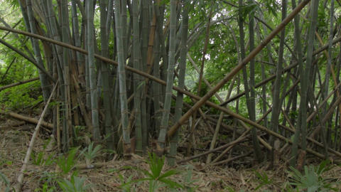 Indian bamboo trees 画像