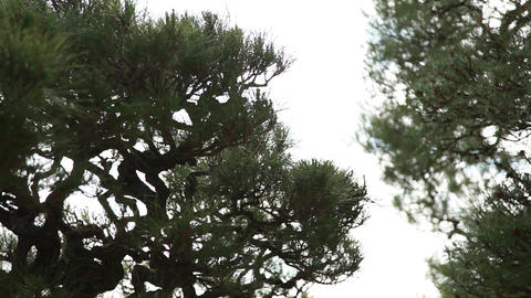 big pine tree swaying in the wind Live Action