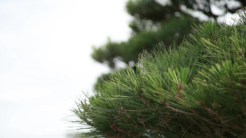 pine bloowing in a pleasant wind Footage