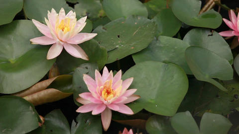 flower lotus blooming in early summer Footage