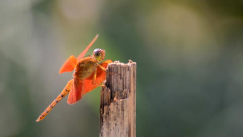 Close shot of a orange dragonfly sitting over a dry bamboo pole Footage