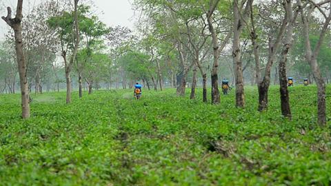 Pesticide being sprayed over tea leaves in Assam Tea garden Image