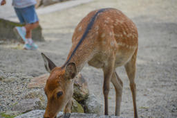 Baby Deer At Nara Japan Eating フォト