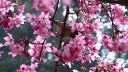 The cherry trees are in blossom Filmmaterial