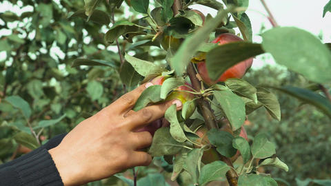 Man hands picking red ripe apples Footage