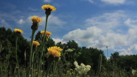 Field yellow camomiles Image
