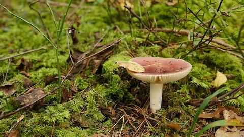 Red mushroom Emetic Russula Footage