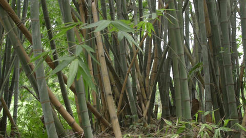 Indian bamboo trees ビデオ