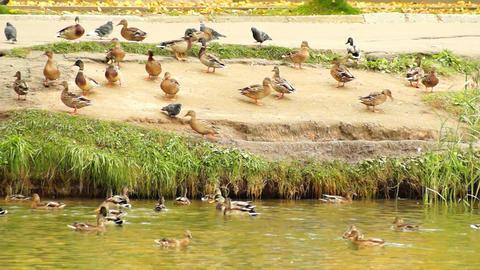 Ducks on the Shore Archivo