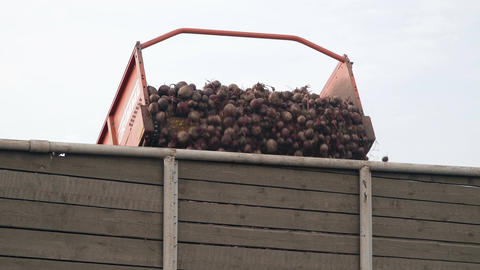 Beets are loaded on a conveyor Archivo