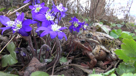 pair common frogs (Rana temporaria) and violet flowers in spring Footage