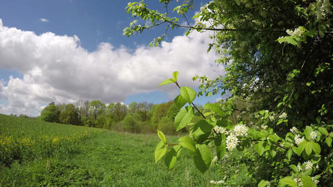 spring wind and bird cherry branch with blossoms. Time lapse Footage