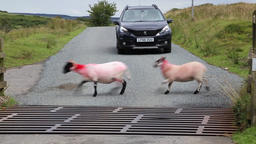 Sheep crossing the road in front of a cattle grid Exmoor National Park Somerset 画像