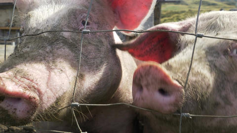 Pigs Snout Fence Close Up Footage
