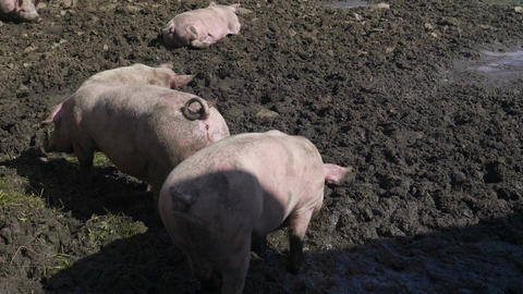 Pigs Mud Rooting Footage