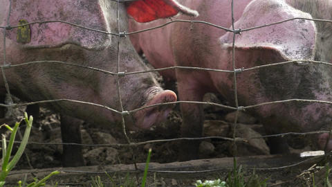 Pigs Snout Fence Grass Close Up Footage