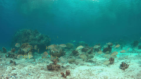 Unicornfishes and Blubberlip Snapper on a coral reef Image
