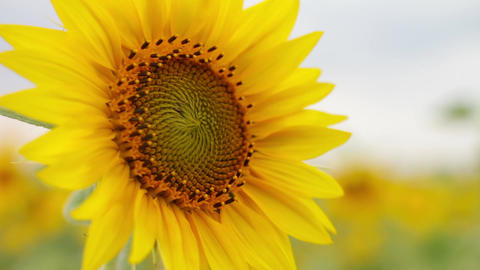 Flower of a sunflower close-up against a background of field and sky. Yellow 画像