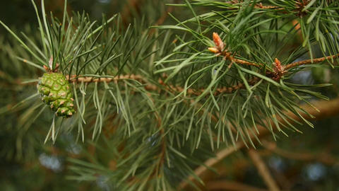 Pine branches with cones in detail Footage