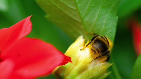 Bumblebee on the Red Dahlia flower bud Footage