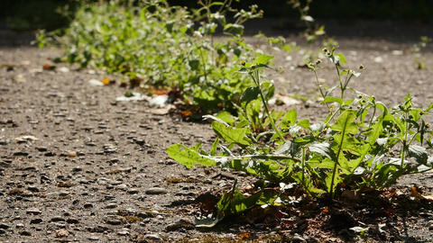 Vibrant green weeds growing through the cracks in the concrete ground Footage