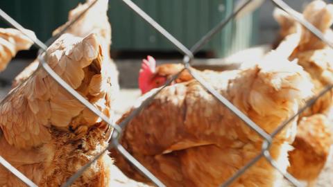 Speckled hen in pen Footage