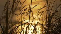 Golden Sunset Through Weed, Scotland Coastline, Real 200fps SlowMo - Native Footage