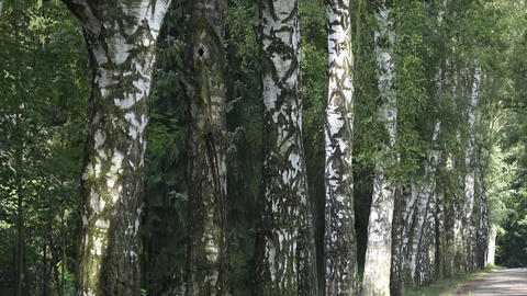 Alley with birch trees in a park. Alley of birch trees and way Footage