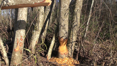 alder tree damage caused by european beaver Live Action