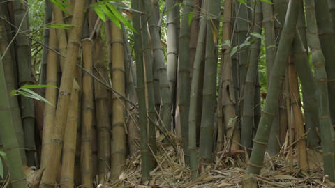 Indian bamboo trees Image