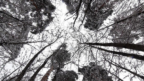 Snow falling from the top of the trees when it melts due to warm weather 08 Footage