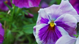 Macro closeup of light pink double purple pansy flower showing detail and Footage