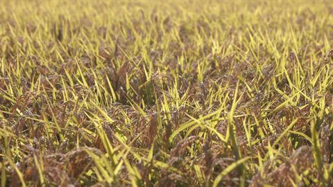 Rice fields with ripe golden ears ( slow motion ) Archivo