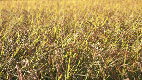 Rice fields with ripe golden ears ( slow motion ) Footage