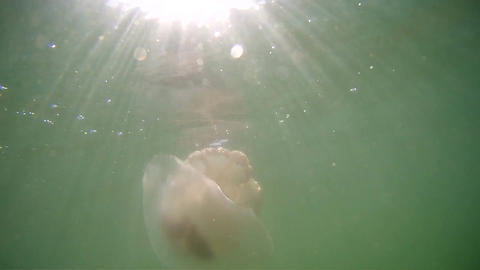 White jellyfish under water, the bright sun shines from above Footage