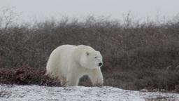 Polar bear walking in the storm Footage