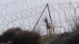 Israeli mountain gazelle near barbed wire Footage