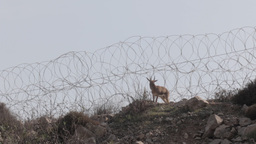 Deer Near Barbed Wire stock footage