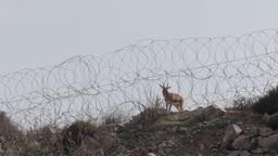 Deer near barbed wire Footage