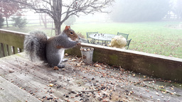 4K UHD Squirrel Eating Peanuts On Backyard Deck In Early Morning Fog stock footage