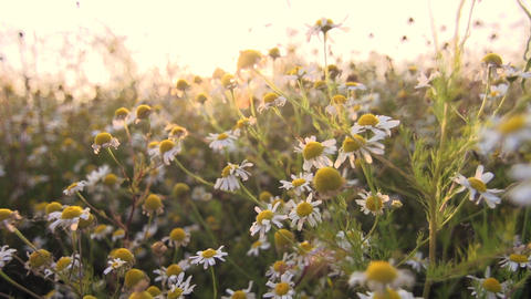 Camomile tea flowers Footage