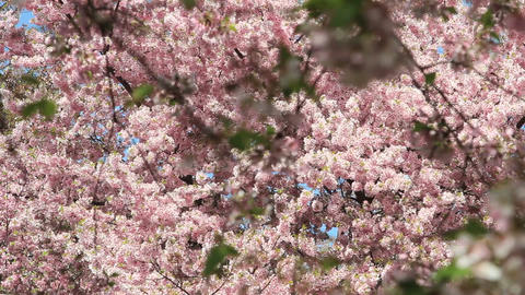 Clustered cherry blossoms in dc Footage