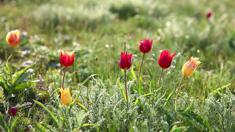 Multi-colored tulips swaying in the wind Footage