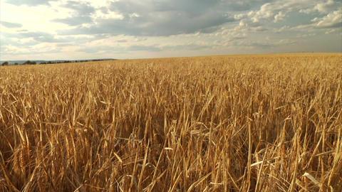 Golden barley slide rail shot Live Action