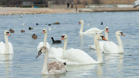 Swans swimming on water Footage