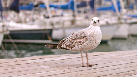 Gull standing on the pier against blurred sailboats Footage