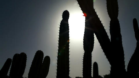 Silhouette of cactus cluster in sun Footage