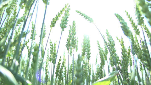 Wheat corn grain oat cereal food agriculture Live Action