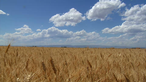 Wheatfield blue skies and puffy clouds Footage